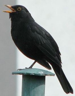 529px-Blackbird,_singing
